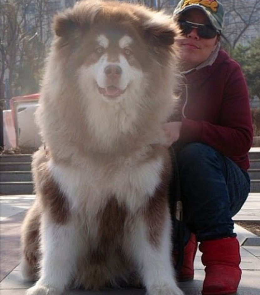 phân loại chó Alaska